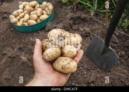 Mature man holding potatoes harvested from garden - Stock Photo