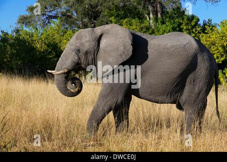 A copy of adult elephant walks near Savute Elephant Camp by Orient Express in Botswna in Chobe National Park . May - Stock Photo
