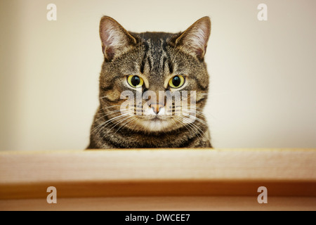 Close up portrait of domestic cat with Mackerel tabby pattern - Stock Photo