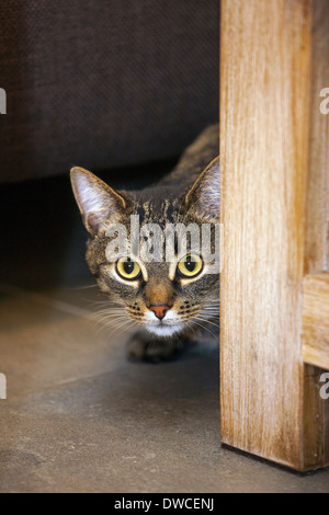 Shy but curious domestic tabby cat peeking from behind furniture in living room in house