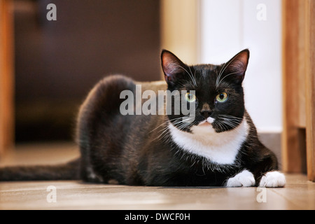 Portrait of tuxedo cat, bicolor domestic cat with a white and black coat resting on the floor in house - Stock Photo