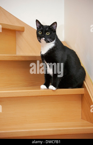Portrait of tuxedo cat, bicolor domestic cat with a white and black coat sitting on the stairs - Stock Photo