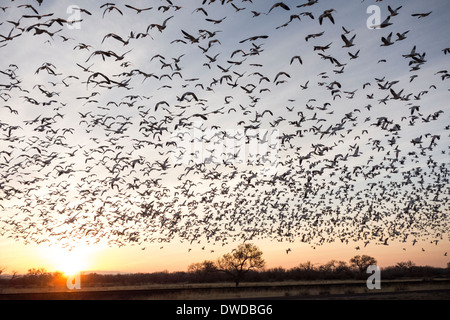 flock of sandhill Cranes and snow geese fly at dawn ; Bosque del Apache National Wildlife Refuge; near Socorro ; - Stock Photo