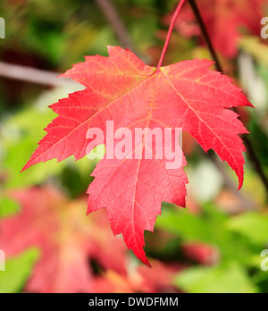 Colorful red Autumn leave - Stock Photo