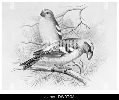 Two Barred Crossbill - Stock Photo
