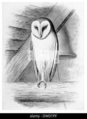 White or Barn Owl - Stock Photo