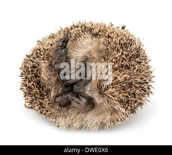 Dead Common hedgehog, Erinaceus europaeus, in front of white background - Stock Photo
