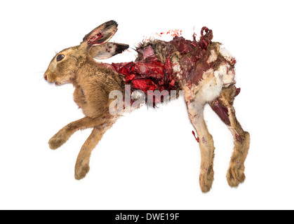 Roadkill dead Hare lying on the side in front of white background - Stock Photo