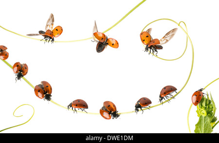 Group of Ladybirds landed on a plant and flying in front of white background - Stock Photo