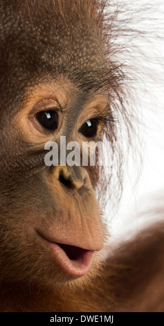 Close-up of a young Bornean orangutan, Pongo pygmaeus, 18 months old, against white background - Stock Photo