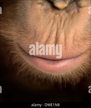 Close-up of young Bornean orangutan's mouth, Pongo pygmaeus, 18 months old - Stock Photo