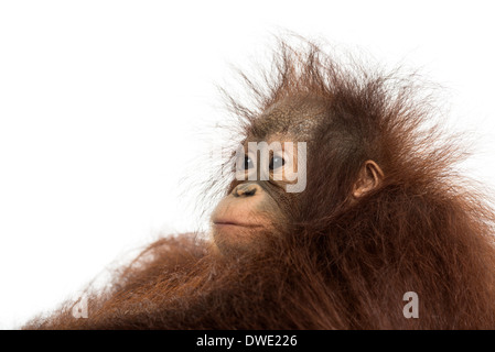 Close-up of a young Bornean orangutan's profile, looking away, Pongo pygmaeus, 18 months old, against white background - Stock Photo