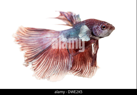 Side view of a Siamese fighting fish, Betta splendens, against white background - Stock Photo