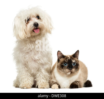 Maltese panting and Birman cat against white background - Stock Photo