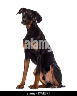 Doberman Pinscher puppy sitting, 6 months old, against white background - Stock Photo