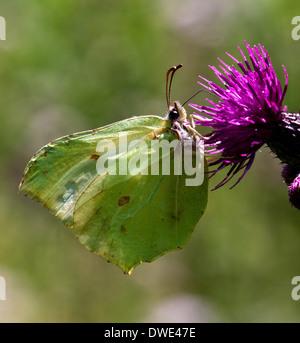 Female Brimstone butterfly (Gonepteryx rhamni) on thistle - Stock Photo