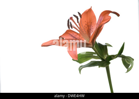 Single beautiful fragile fresh orange tiger lily flower with spots on the petals on a stem with green leaves isolated - Stock Photo