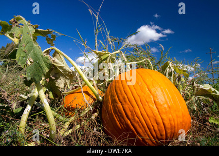 Pumpkin patch in Canyon County, Idaho, USA. - Stock Photo