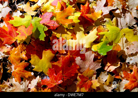 Colorful fallen deciduous tree leaves on the forest floor in Logan Canyon, Utah, USA. - Stock Photo