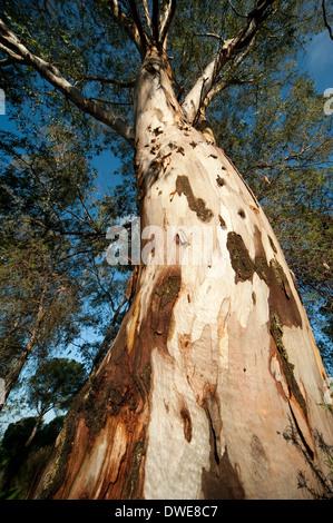 Eucalyptus Tree Andalucia Spain - Stock Photo