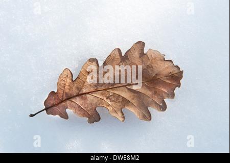 Oak Leaf on snow Thornden Woodlands Kent UK - Stock Photo