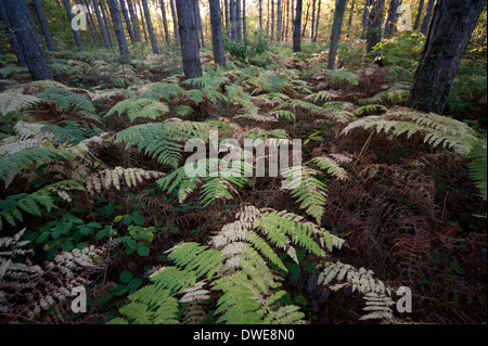 Broad Buckler FernThornden Woodlands Kent UK - Stock Photo