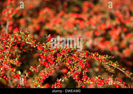 Cotoneaster horizontalis, Wall Cotoneaster, with berries in Autumn - Stock Photo