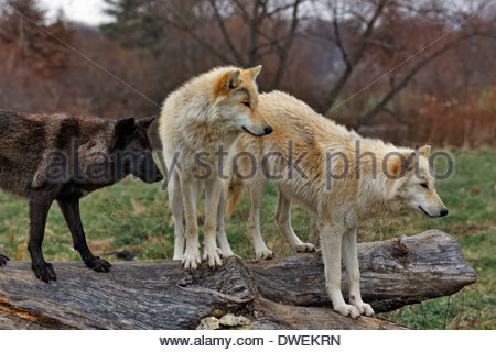 Gray wolves (Canis lupus) also called Timber Wolves standing on a old log. Captive animal - Stock Photo
