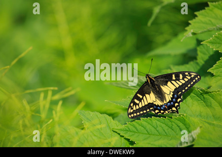 A Western Tiger Swallowtail Butterfly rests on a leaf. - Stock Photo