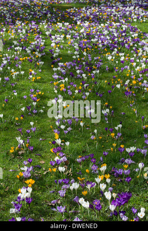 Crocus flowers growing in an English garden - Stock Photo