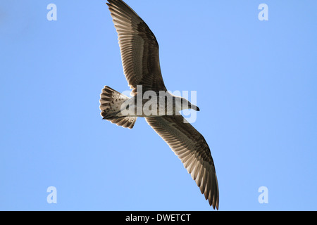 A juvenile  Kelp Gull (Larus dominicanus) in flight at Kalk Bay Harbour near Cape Town. - Stock Photo