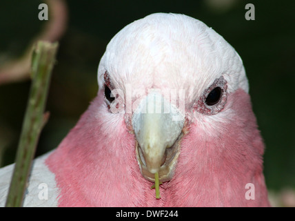 Rose-breasted Cockatoo or Galah Cockatoo (Eolophus roseicapilla), originally from Australia in extreme close-up - Stock Photo