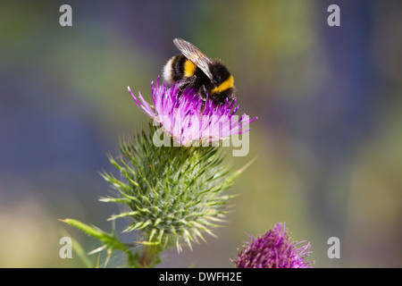 Buff tailed Bumble Bee on a Spear Thistle , UK. July - Stock Photo