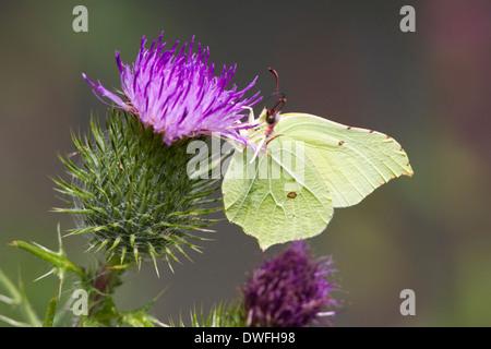 Brimstone Butterfly (gonepteryx rhamni) in the UK. July - Stock Photo