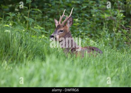 European Roe Deer in the British woodland - Stock Photo