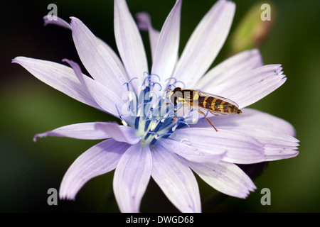 Hover fly on flower - Stock Photo