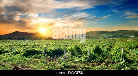 Green vineyard at the sunrise in Crimea - Stock Photo