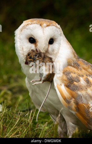 Barn Owl (Tyto alba) with a field mouse in North Yorkshire in the United Kingdom - Stock Photo