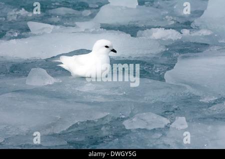 Snow Petrel - Stock Photo