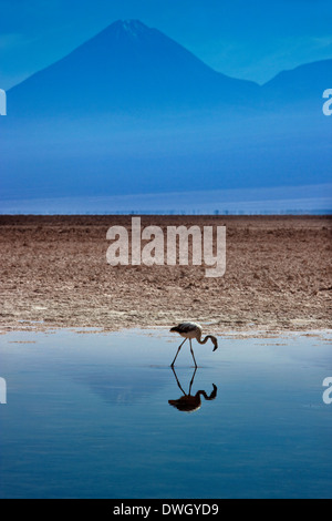 A Flamingo on Chaxa Lagoon - Atacama Salt Flats - Atacama Desert - Chile - Stock Photo