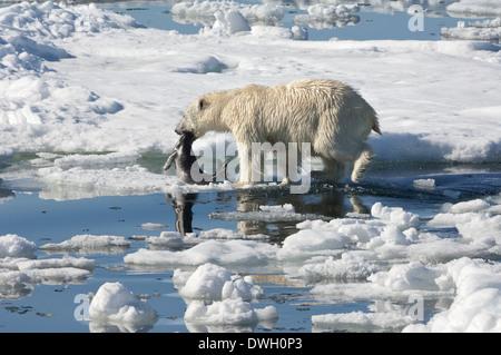 Polar Bear - Stock Photo