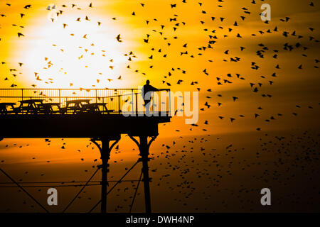 Aberystwyth, Wales, UK. 8th March 2014.   Flocks of starlings fly in to roost on the cast iron legs of the Victorian seaside pier at Aberystwyth on the west wales coast UK.   At the end of a warm sunny day, with temperatures in the UK reaching 18C, people at the end of the pier enjoy the sunset over Cardigan Bay  and the murmuration of the birds  photo Credit: Keith morris/Alamy Live News