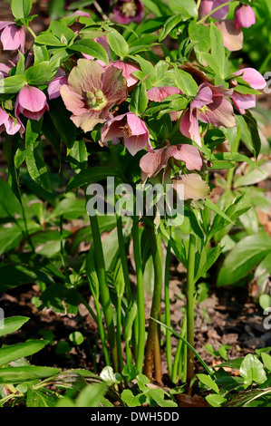 Christmas Rose or Black Hellebore (Helleborus niger) - Stock Photo