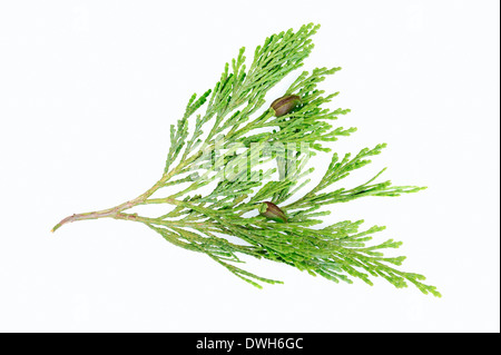 Eastern Arborvitae, American Arborvitae or White Cedar (Thuja occidentalis), twig with cones - Stock Photo