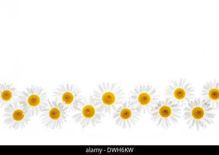 Flower border of oxeye daisies isolated on white background - Stock Photo