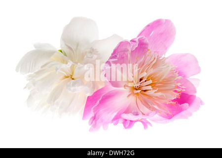 Two peony flowers isolated on white background - Stock Photo
