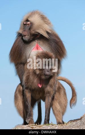 Gelada Baboon - Stock Photo