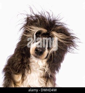 Adorable Powder Puff Chinese Crested dog with messy hair isolated on white background - Stock Photo