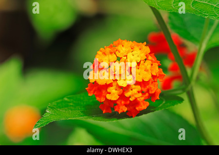 Common Lantana or Shrub Verbena (Lantana camara) - Stock Photo