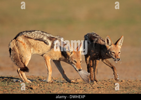 A pair of black-backed jackals (Canis mesomelas) eating a dove, Kalahari desert, South Africa - Stock Photo